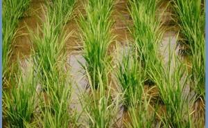 稲作に見るクリーン化との共通点